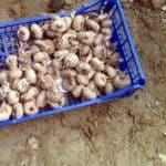 Comprare bulbi di zafferano: consigli utili