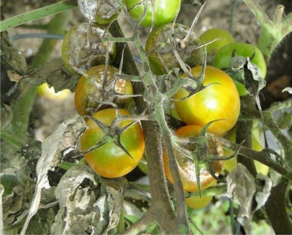 marciume del pomodoro