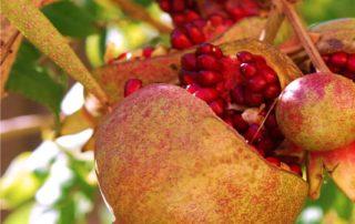 frutti di melagrana sui rami