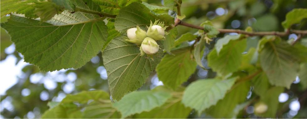 rami di albero delle nocciole