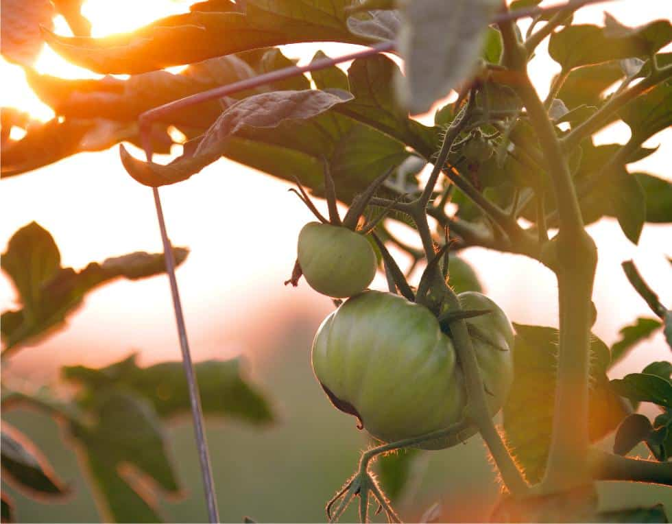 pianta di pomodori