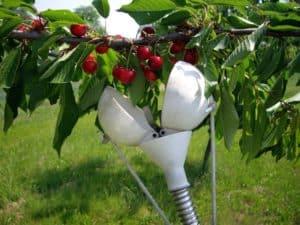le ciliegie: come cogliere frutti piccoli