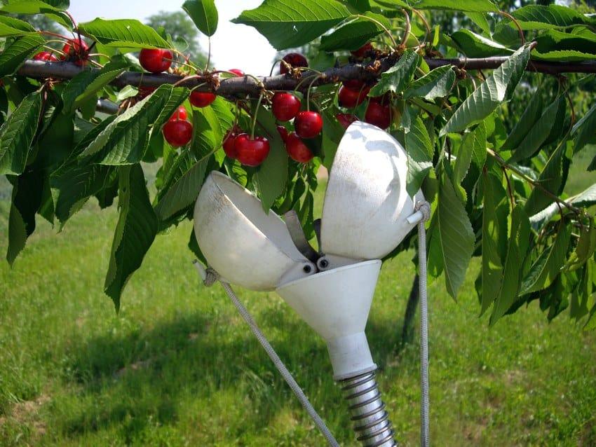 Come raccogliere la frutta sui rami alti