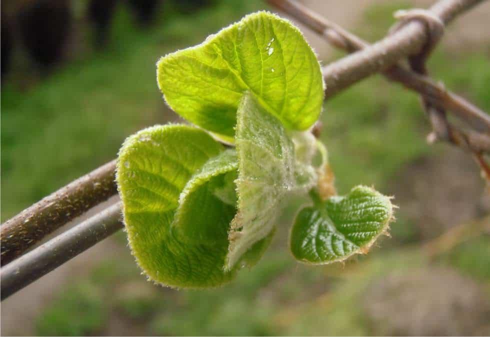 Le malattie della pianta di kiwi