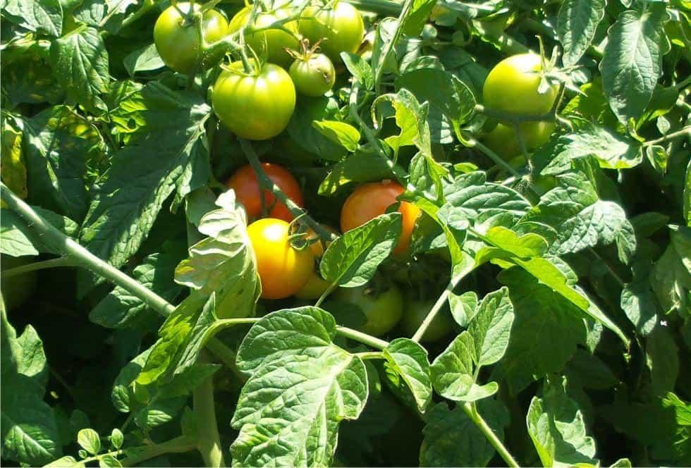bosco di pomodori