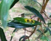 foglia di ulivo con occhio di pavone