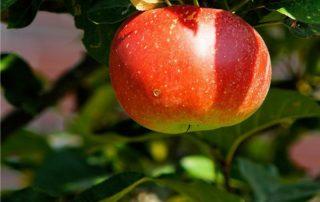 una mela sul ramo