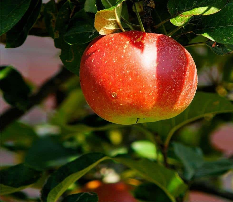 Gli insetti che attaccano melo e pero