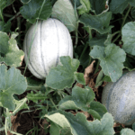 Come si semina il melone