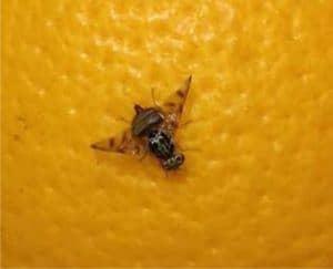mosca mediterranea della frutta