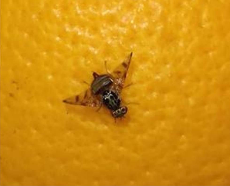 La mosca della frutta: riconoscerla e combatterla