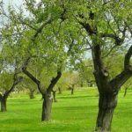 Le principali malattie dell'ulivo