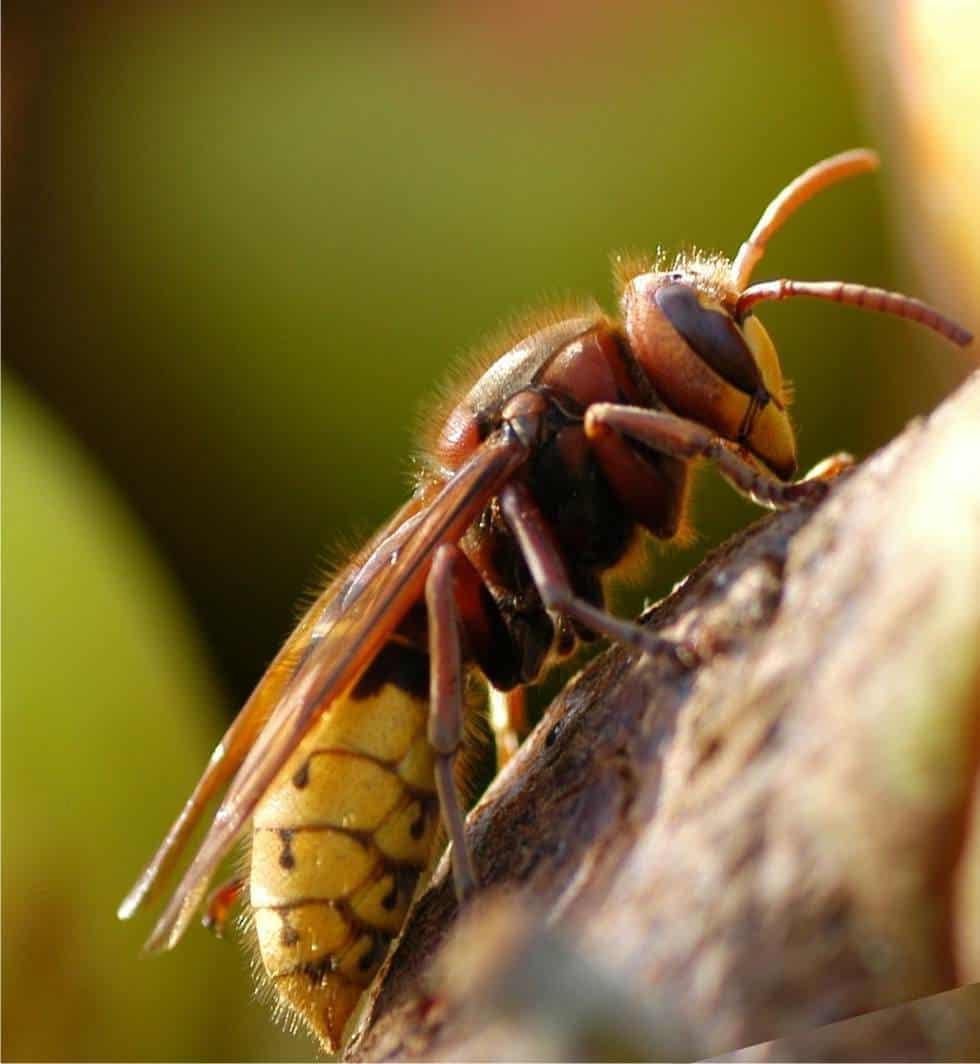 Eliminare vespe e calabroni da giardino e frutteto