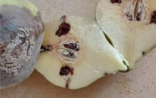 pera danneggiata dalla carpocapsa