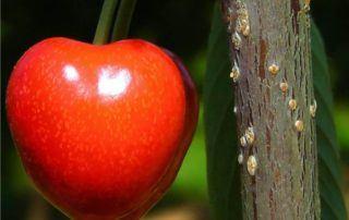 ciliegia matura