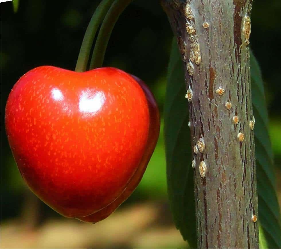 Il ciliegio: insetti e parassiti da cui difenderlo