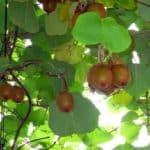 kiwi rampicante
