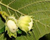 foglie e frutti della nocciola