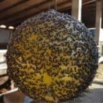 sfera trap coperta di mosche
