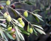 olive verdi sul ramo