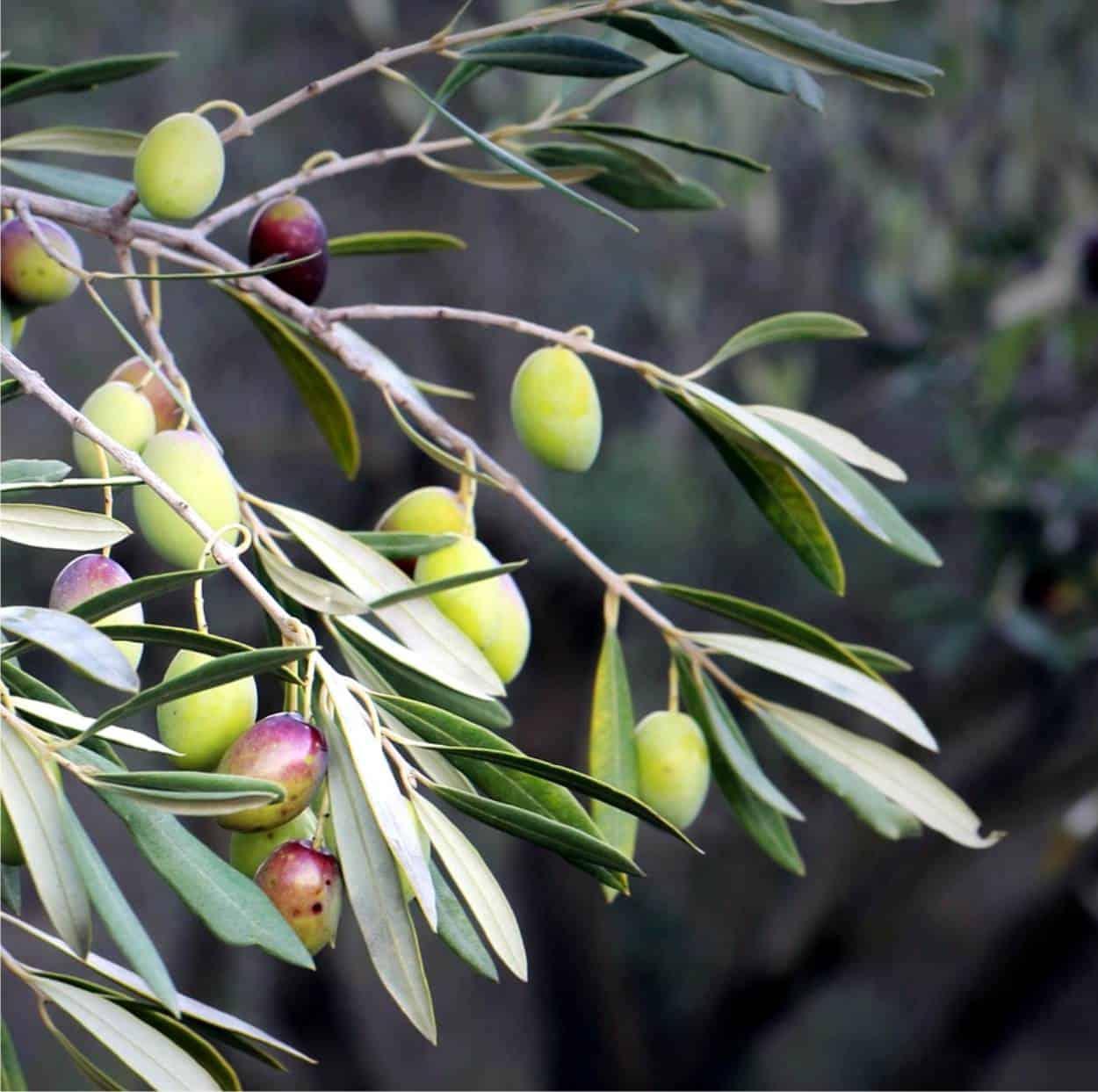 Gli insetti che attaccano l'olivo