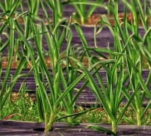 porri coltivati con pacciamatura