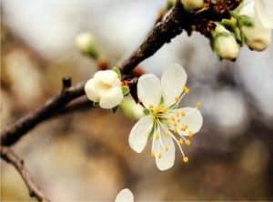 ramo di ciliegio da potare