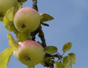Potare il melo come e quando odc for Potatura del melo