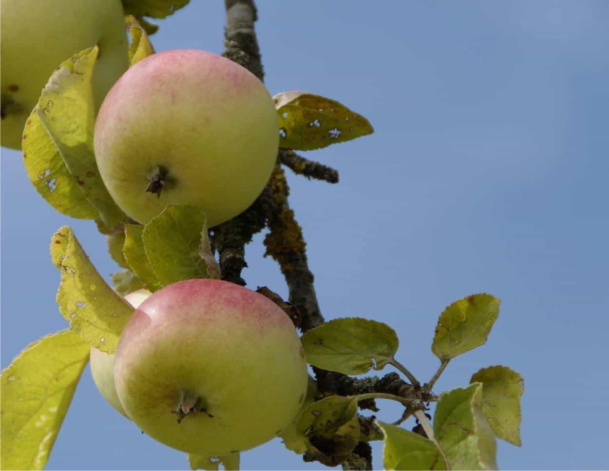 Come e quando potare il melo