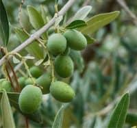 olive sul ramo