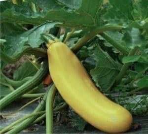zucchina gialla sulla pianta
