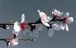 ramo dell'albicocco in fiore