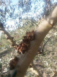 albero colpito da rogna dell'ulivo