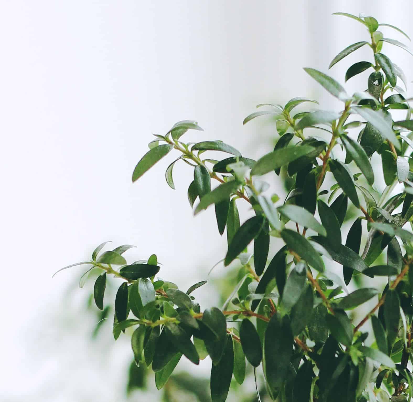 pianta di mirto