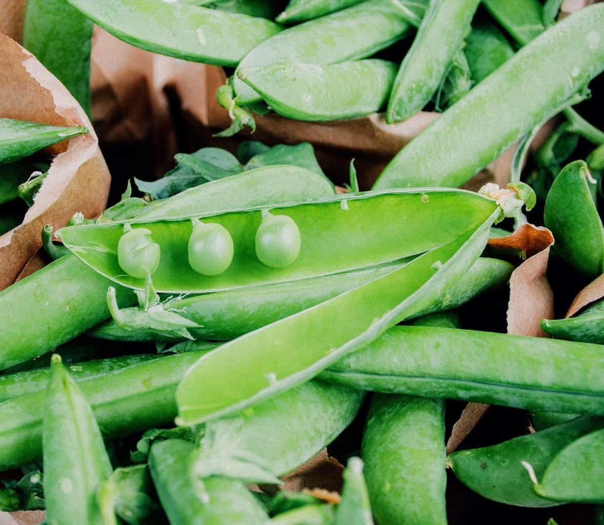 Coltivare Piselli In Vaso piselli nell'orto: insetti parassiti e difesa bio