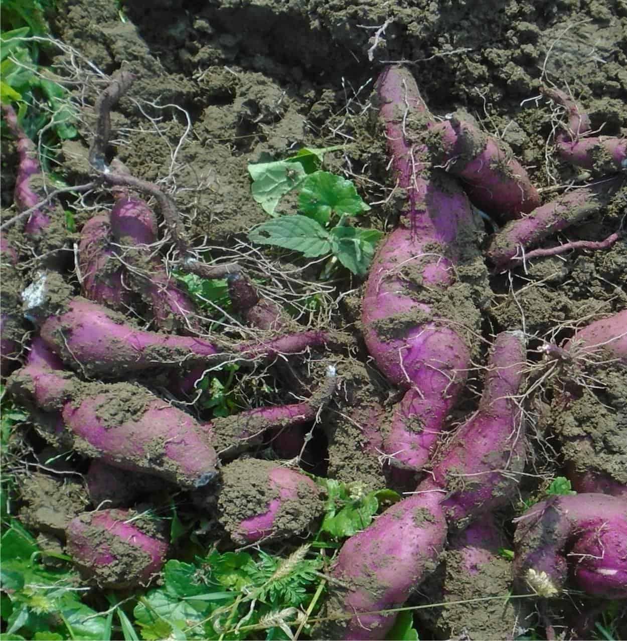 Coltivazione della batata o patata dolce americana