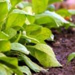 Seminare gli spinaci nell'orto