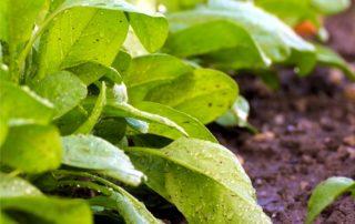 piante di spinaci
