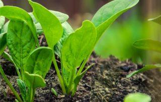 spinaci ortaggi