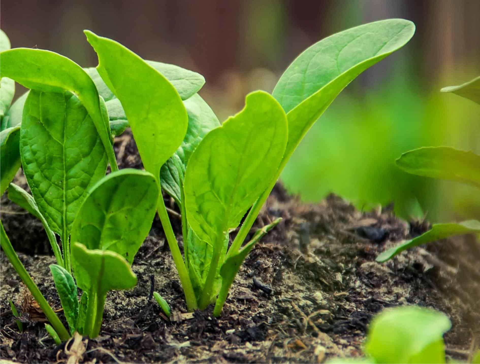 Insetti e parassiti degli spinaci