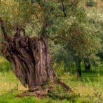 La Xylella e il complesso di disseccamento rapido dell'olivo