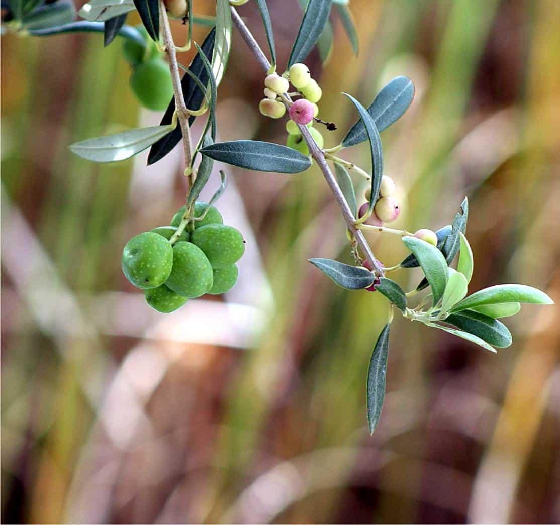 olive sul ramo acerbe
