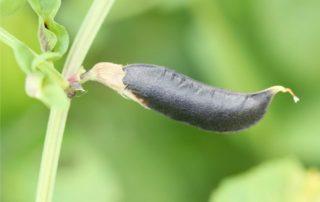 fagiolo sulla pianta
