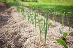 coltivazione sinergica