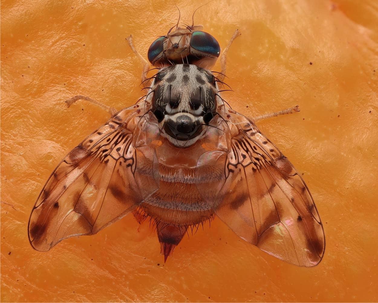 Trappole per la mosca mediterranea della frutta