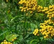 fiori di tanaceto