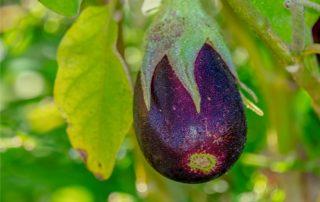 frutto di melanzana