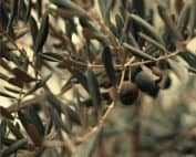 tignola olivo