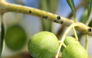 cocciniglia mezzo grano di pepe su olivo