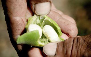 semina dei fagioli